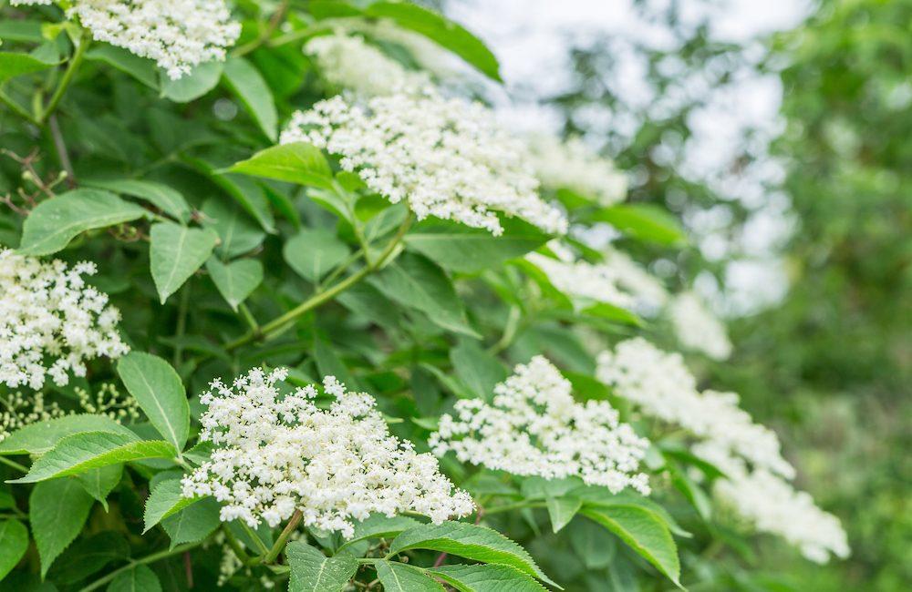 Décryptage d'une plante méconnue : la fleur de sureau