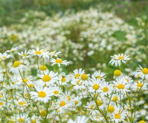 Décryptage d'une fleur champêtre : la camomille romaine